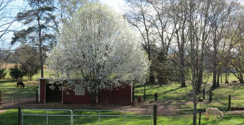 Spring at Oakside Acres - Home of AMHR National Champion Pick Pockets Coz for Applause, HOF, and Res. National Champion Moon River See More Shine, HOF